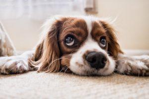 Hund mit Hundehaftpflichtversicherung liegt auf Teppich