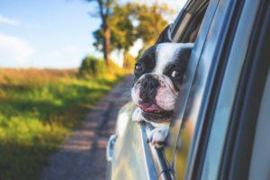 Hund mit Hundehaftpflichtversicherung streckt Kopf aus fahrendem Auto